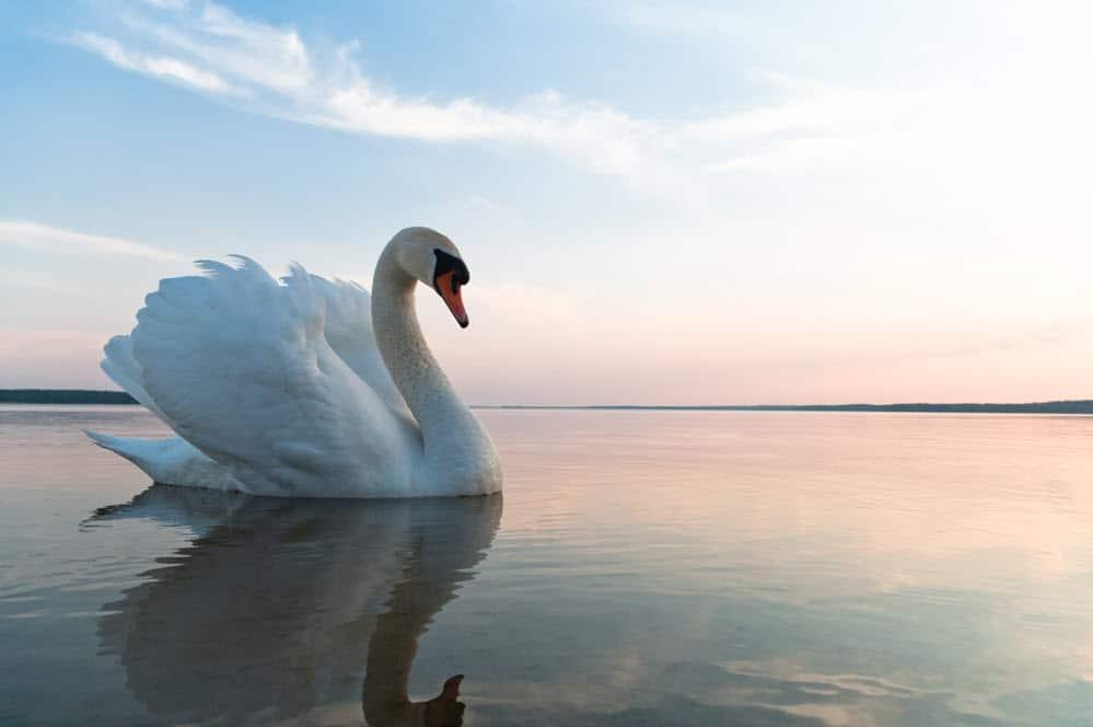 The graceful swan